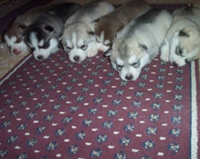 Kelsey's 2nd Litter